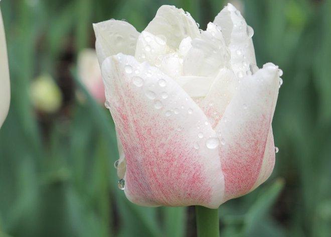 Тюльпан. Что означает цветок. Виктория Браткова
